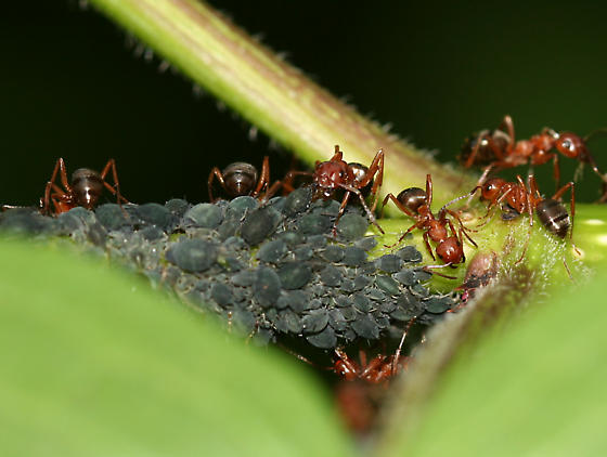 ants tending aphids - Formica