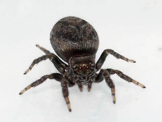spider - Evarcha hoyi - female