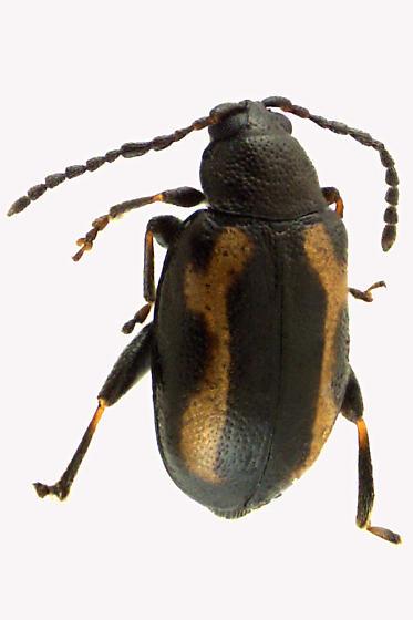 Flea Leaft beetle - Phyllotreta striolata