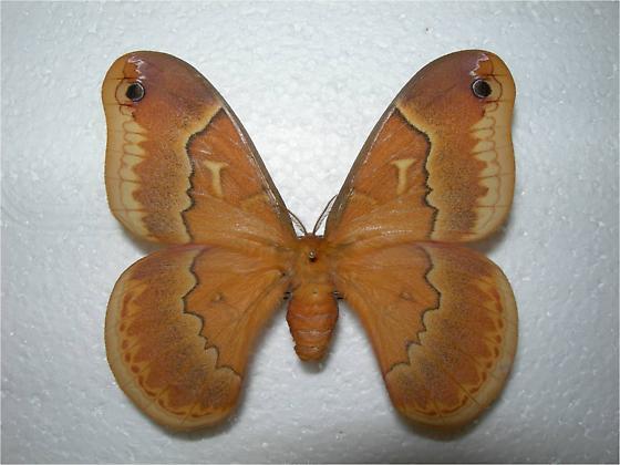 Callosamia securifera - female