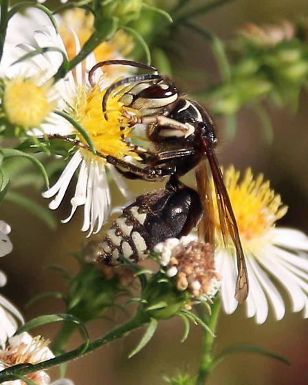 Black Jacket (Vespula consobrina) ? - Dolichovespula maculata