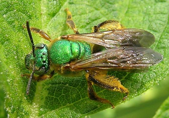 Another halictid - Agapostemon splendens - female