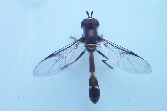 Syrphid - aphid predator - Dioprosopa clavata - male