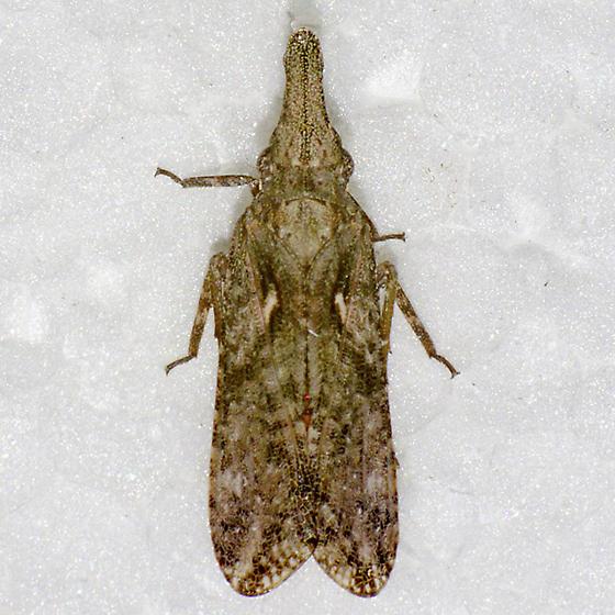 crocodile fly - Amycle vernalis
