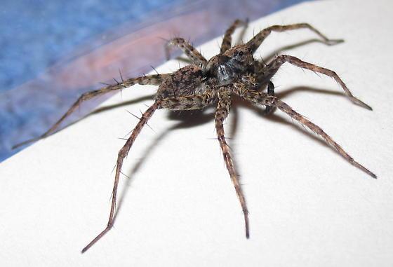 Adult Male - Pardosa xerampelina - male