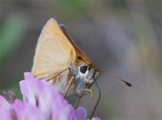 cute - Thymelicus lineola