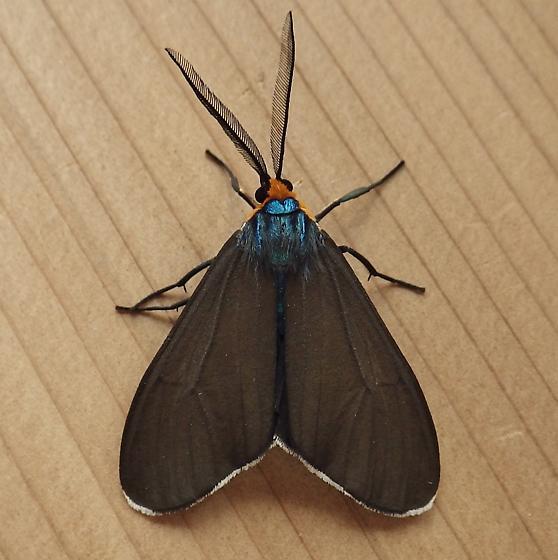 Erebidae: Ctenucha virginica  - Ctenucha virginica