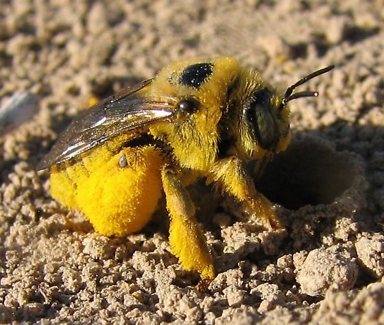 Ground bee ID help - Diadasia enavata - female
