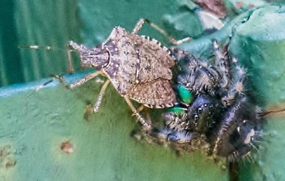 Eating Stink Bug Phidippus Audax