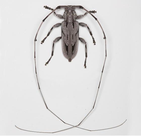 BG2142 E1085 - Acanthocinus nodosus - male