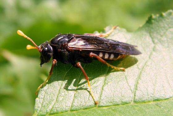 Is this a wasp? - Cimbex americanus