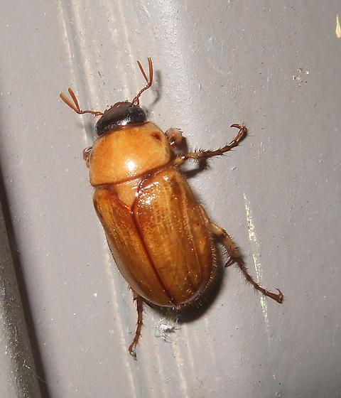 orange beetle - Cyclocephala