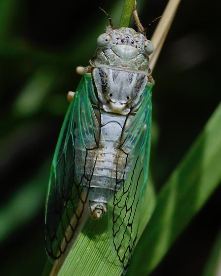 Unknown 'Bug'? - Beameria venosa