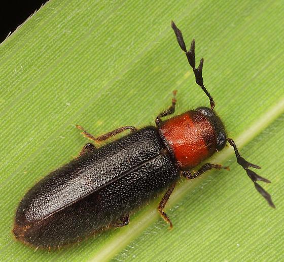 Coleoptera - Neorthopleura thoracica