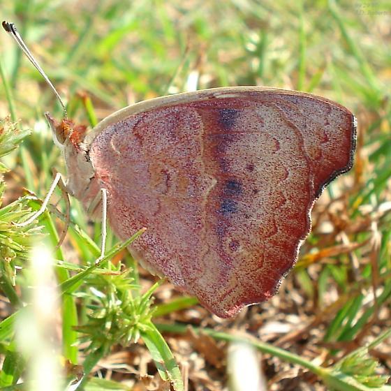 Junonia coenia - female