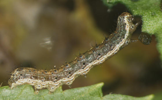 Noctuidae, Variegated Cutworm, 1 larvae, lateral - Peridroma saucia