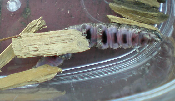 Large gray caterpillar with a bright purple underside found in Andover Ma - Catocala