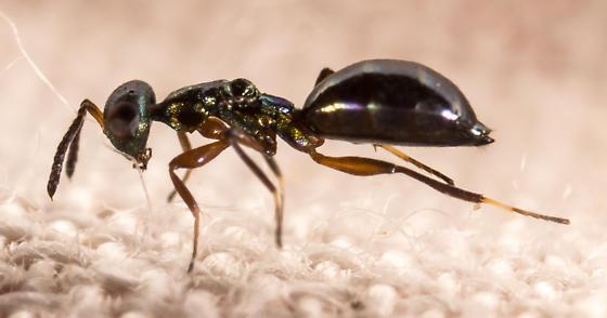 Tiny Wingless Wasp - Notanisus sexramosus - female