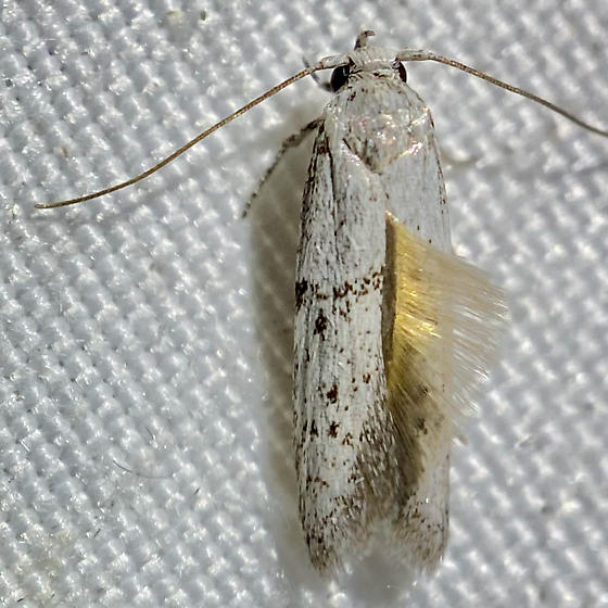 white micro with gold tuft