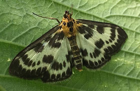 Black and Yellow Moth, Orange Thorax - Anania hortulata