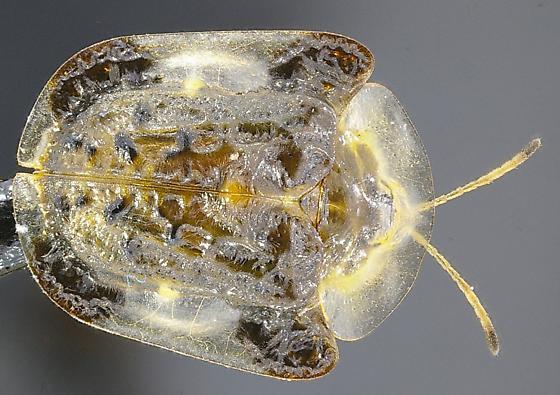 translucent beetle - Plagiometriona clavata