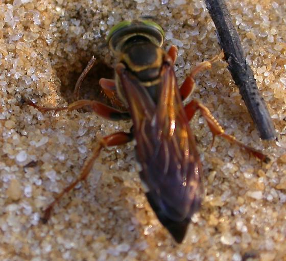 Tachytes distinctus - female