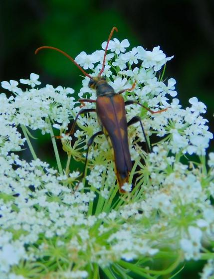 Unknown longhorn beetle - Bellamira scalaris