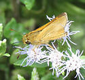 Skipper - Quasimellana eulogius - male