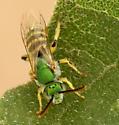 metallic green sweat bee - Agapostemon angelicus - male