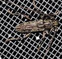 Cerambycid attracted to porch light - Elaphidion mucronatum