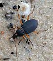 Black and Orange Beetle on the Beach - Chlaenius aestivus