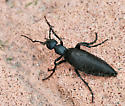 Which one of the Meloe beetles? - Meloe angusticollis - male