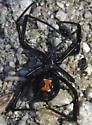 another black widow - Latrodectus hesperus