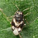 small bug - Corticoris signatus