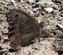 Great Basin Wood Nymph? - Cercyonis sthenele