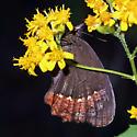 Gyrocheilus patrobas