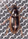 Beetle for ID - Stenolophus infuscatus