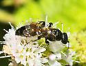 possible Scoliidae? - Tiphia