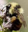 Bumblebee ID please - Bombus rufocinctus - female