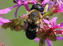 Bee - Megachile sculpturalis