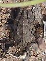 Crested Pygmy Grasshopper ? - Nomotettix cristatus - female