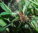 Fishing Spider ??? - Dolomedes triton
