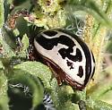 leaf beetle ? zygogramma sp ? - Zygogramma