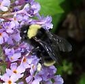 Bombus fervidus californicus - Bombus californicus - female