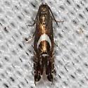 Yellow Nutsedge Moth - Diploschizia impigritella