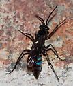 Spider Wasp - Evagetes