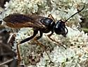 wasp with red legs and abdomen, sphex ashmeadi? - Sphex ashmeadi