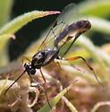 wasp on webby blanketflower - female