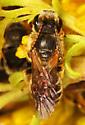 small Bees sleeping in goldenrod - Halictus
