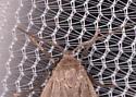Crambidia sp. - Crambidia uniformis - male